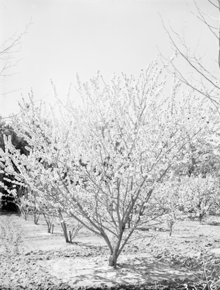 Flowering peach trees in blossom, Yarralumla.