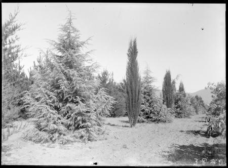 Large trees at Yarralumla Nursery.