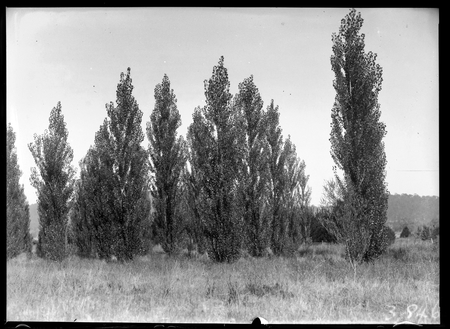 Clump of Lombardy poplars.