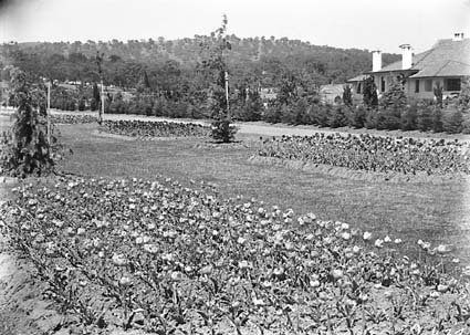 Beds of tulips in the plantation outside Hotel Canberra