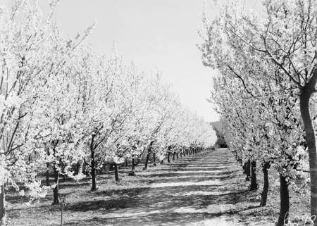 Flowering peach trees in bloom, Yarralumla Nursery.