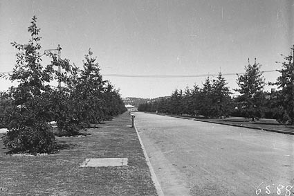 Torrens Street, Braddon, row of pin oak trees