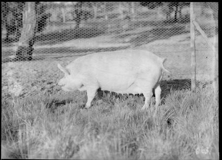 Large White sow [pig] at the Government hog farm, Federal Highway, Watson.