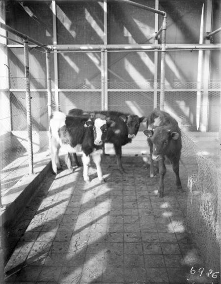 Three heifer calves awaiting treatment.
