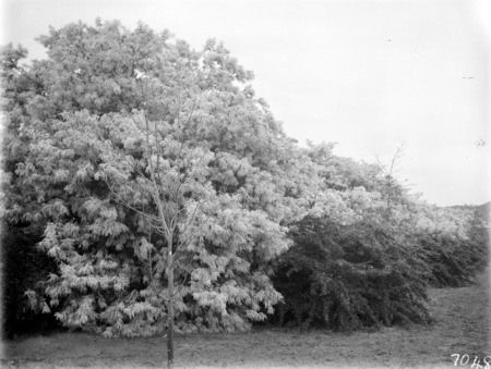 Wattle trees in blossom.