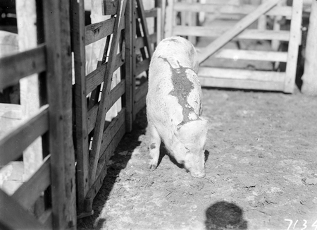 Pig in a pen.