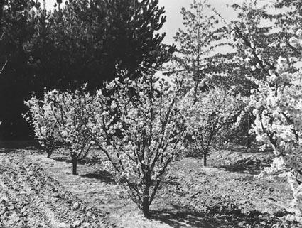 Fruit trees in blossom at Yarralumla Nursery