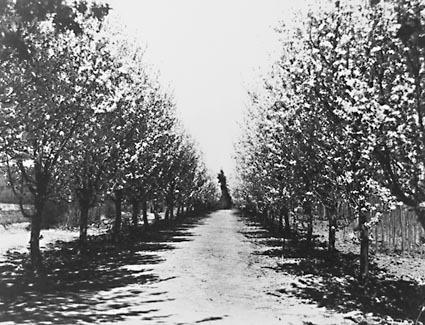 Trees in Blossom at Yarralumla Nursery