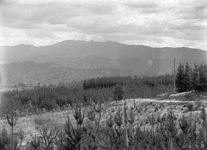 Pine forests near Mount Stromlo, looking towards the Brindabellas