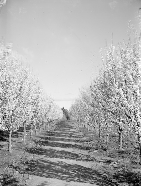 Flowering peach trees in Yarralumla Nursery.
