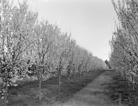 Flowering peach trees in Yarralumla Nursery.